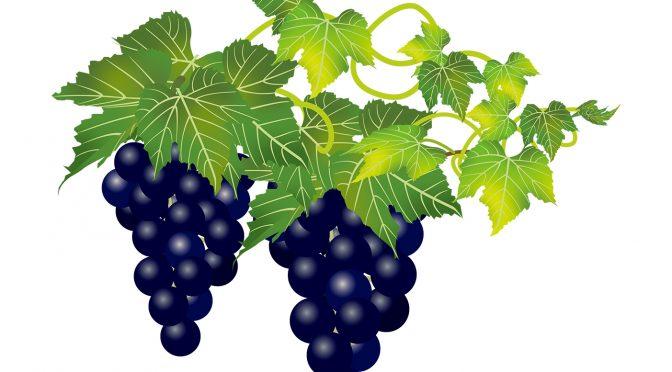 ブドウの種類でこんなに違う!色んな種類のレーズン集めてみました。